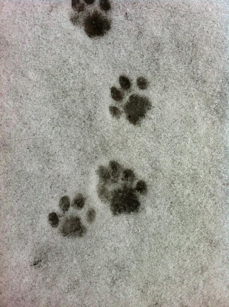 Bobcat Paws_8512157166_l.jpg