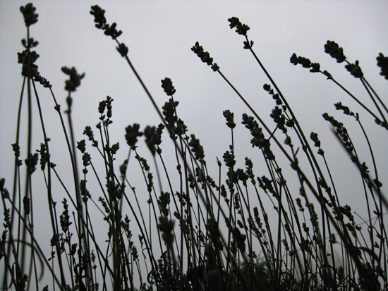 Portland Frost, lavender standing tall against the winter_8374186494_l.jpg
