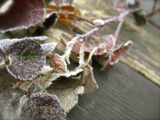 Portland Frost, you can't kill me! - signed, Himalayan Blackberry_8374186530_l.jpg
