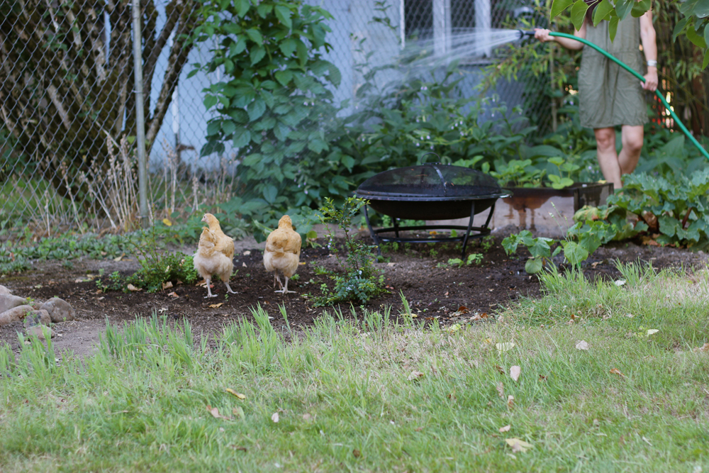 chickens-in-the-garden