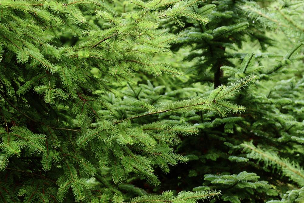 grand fir trees