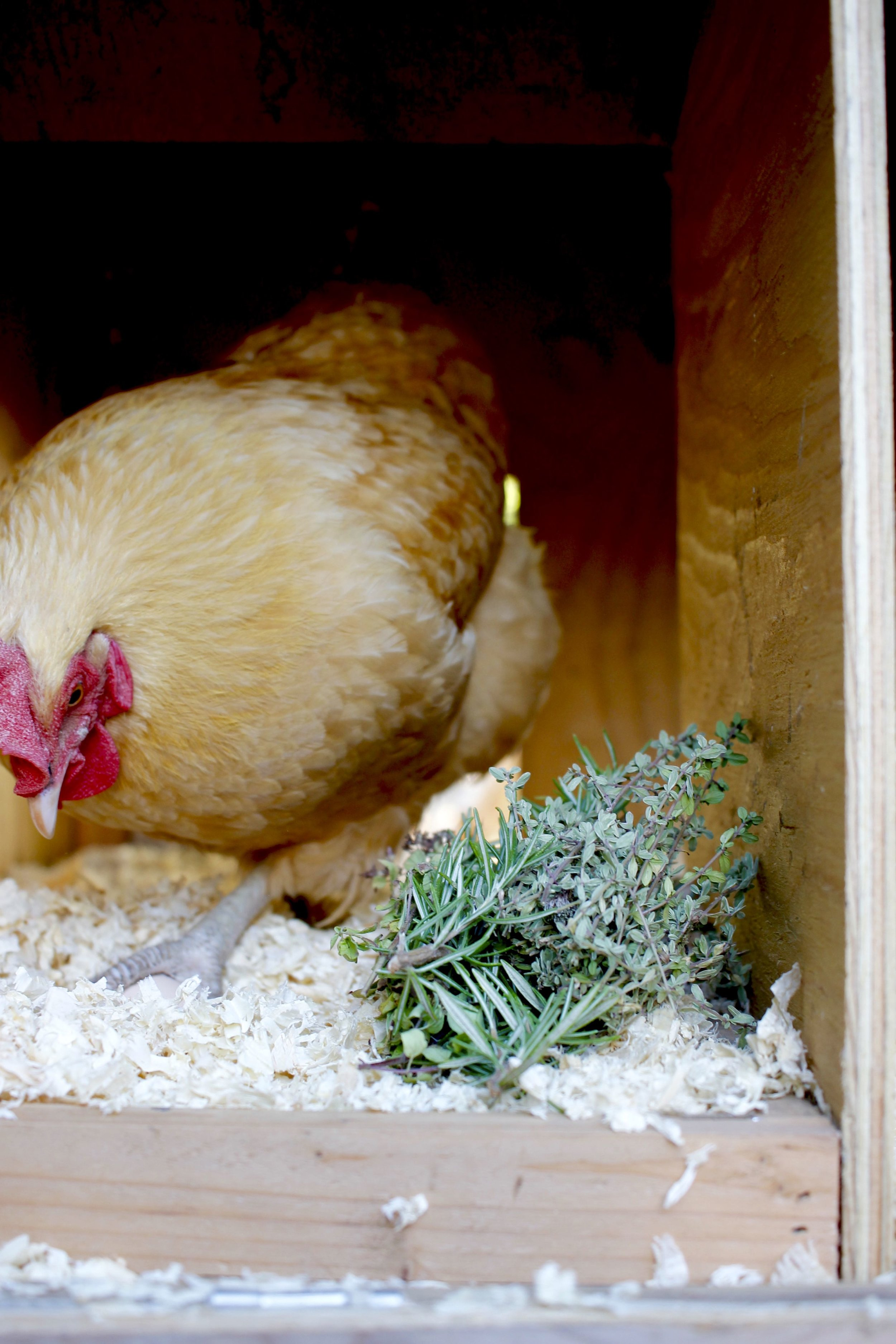 Buff Orpington inspecting her egg with the nesting box herbs