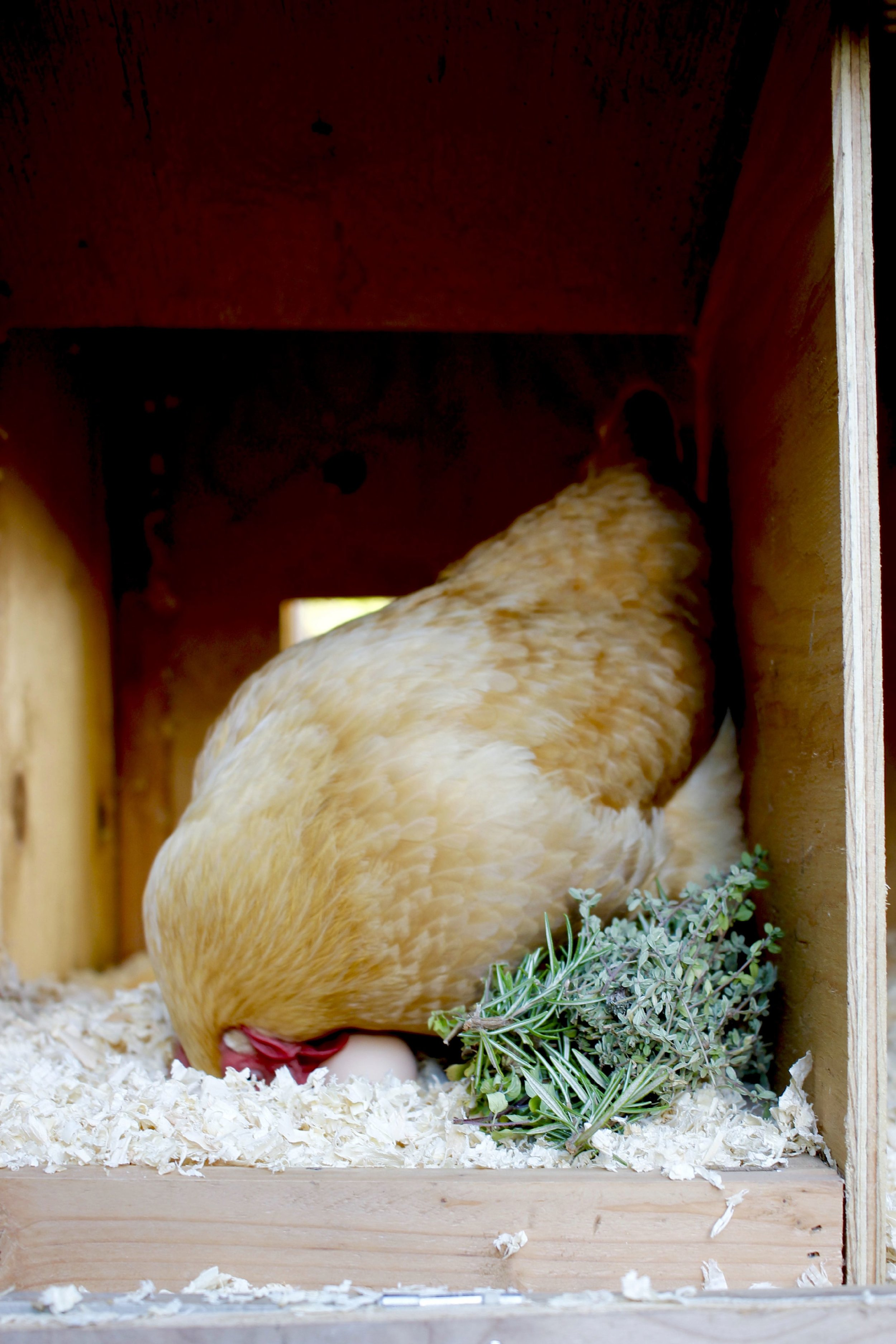 Buff Orpington and her egg with nesting box herbs