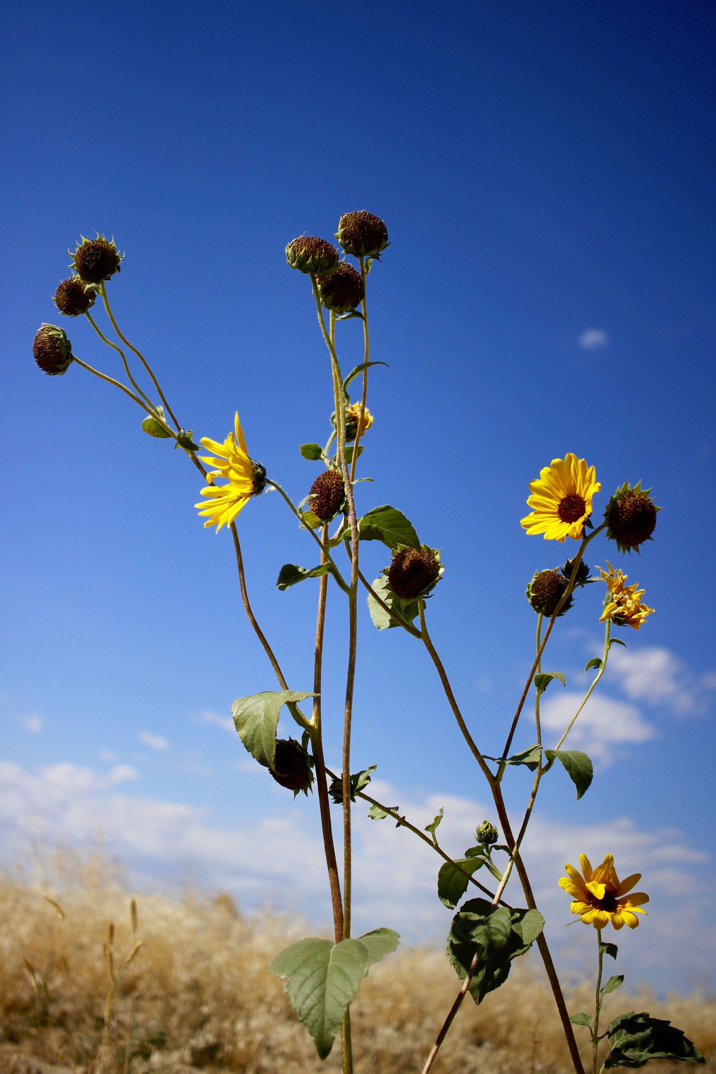 Roadside sunflowers in Idaho