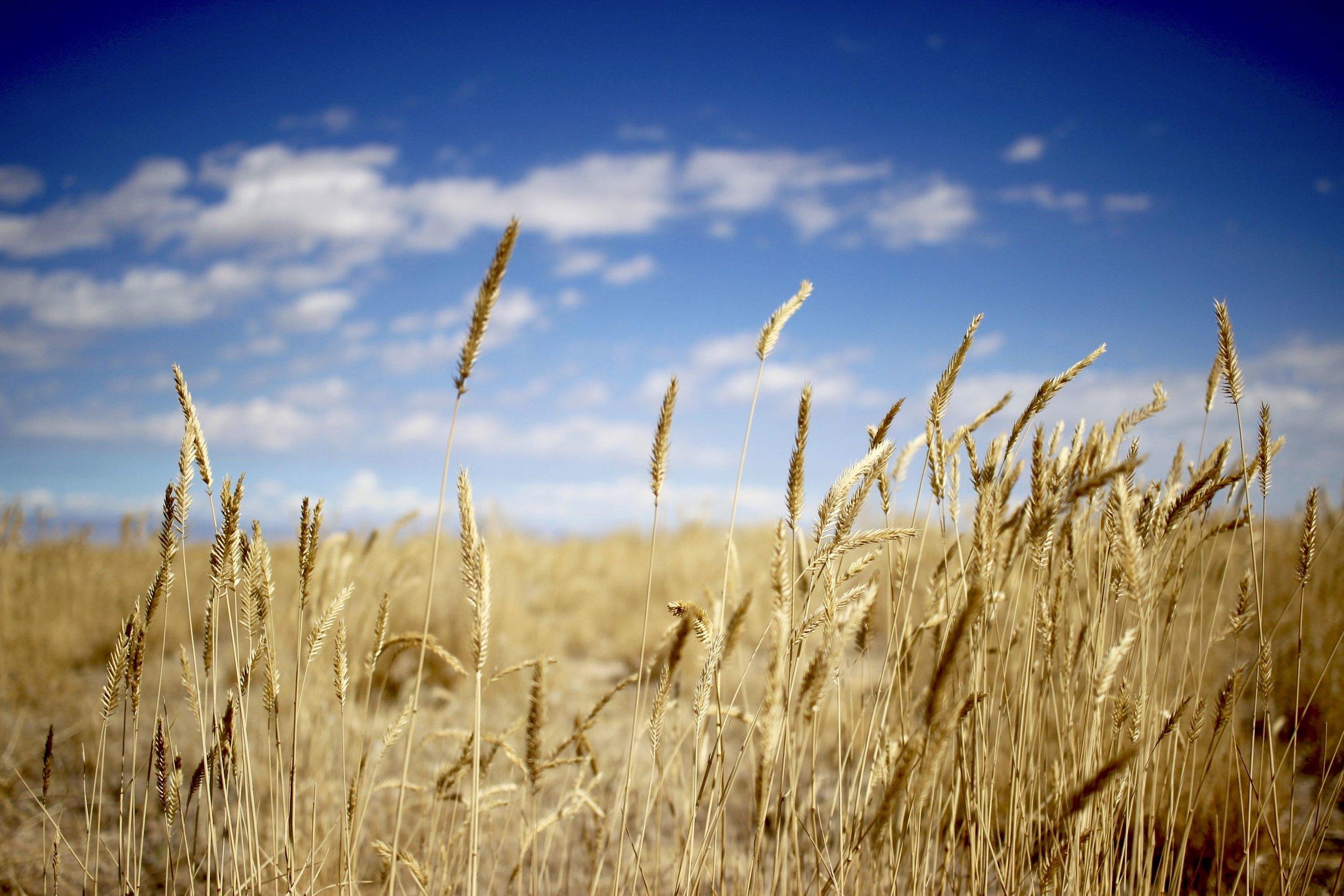 Wild rye on the open range - near Owyhee Canyonlands Idaho