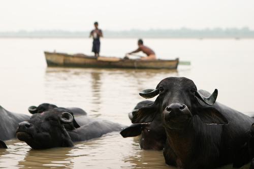 13 Water buffalo.jpg