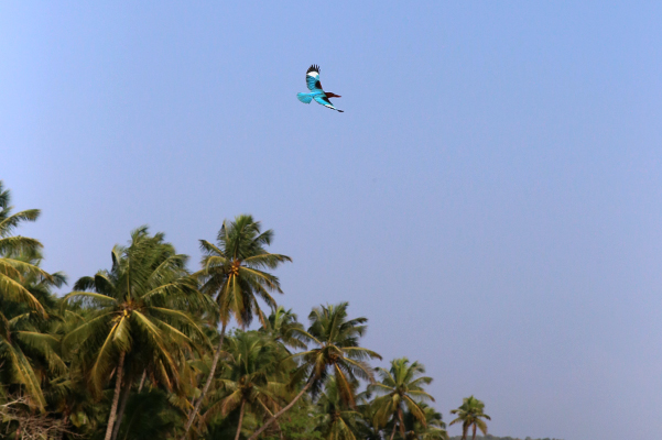 Kingfisher in flight.