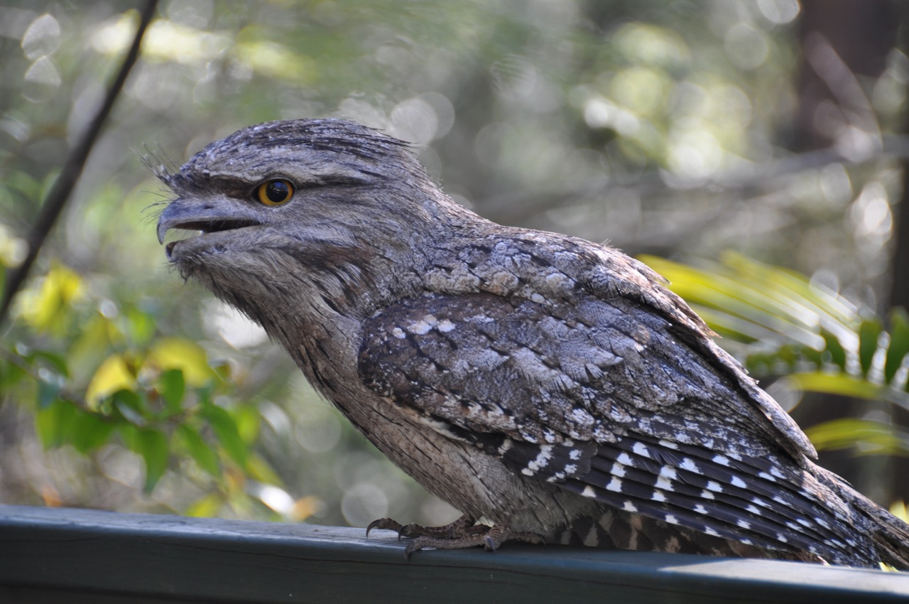 Tawny Frogmouth Visits