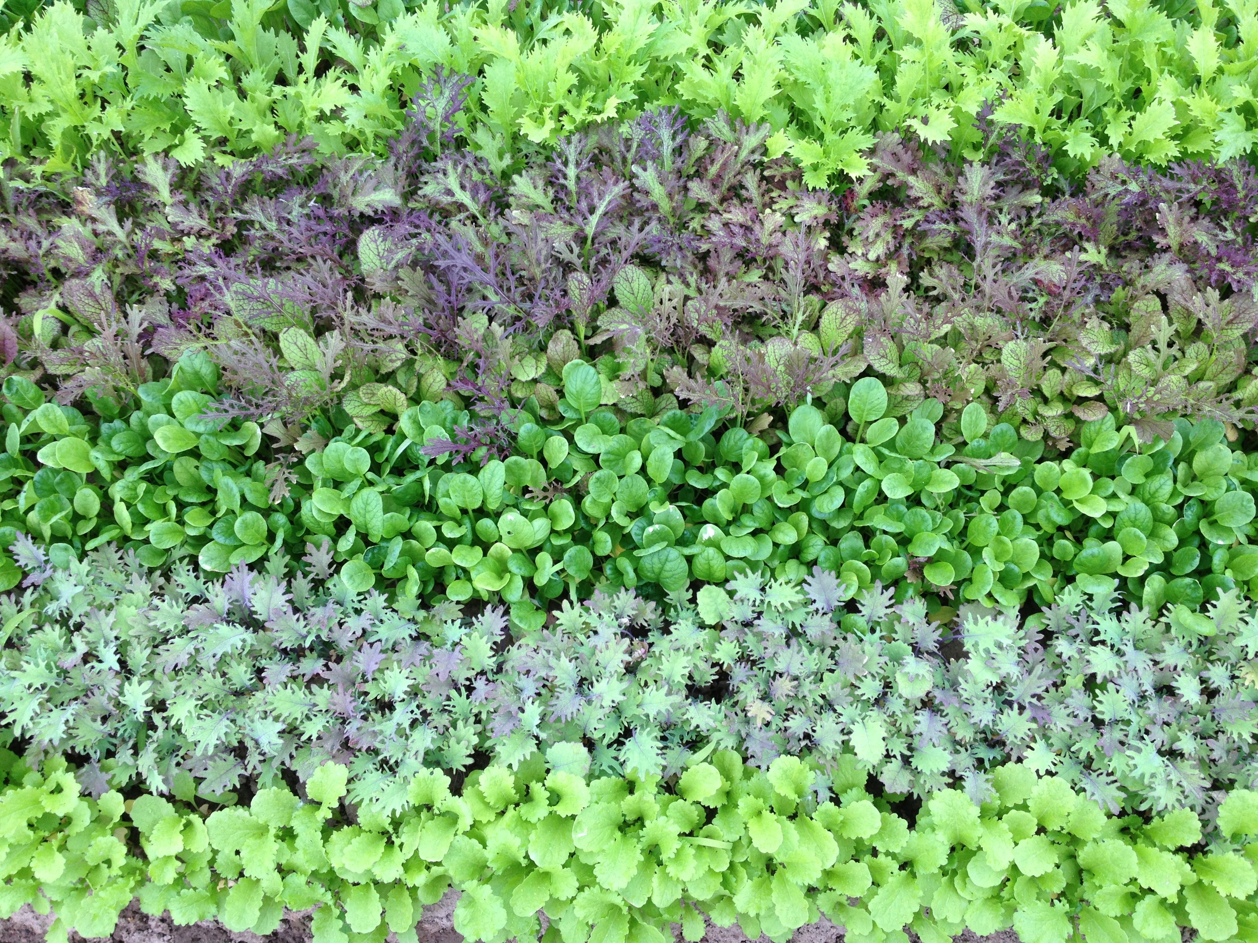 A creative way to plant for a baby mustard mix makes for a pretty picture (and I'm sure a pretty bag and a pretty plate).