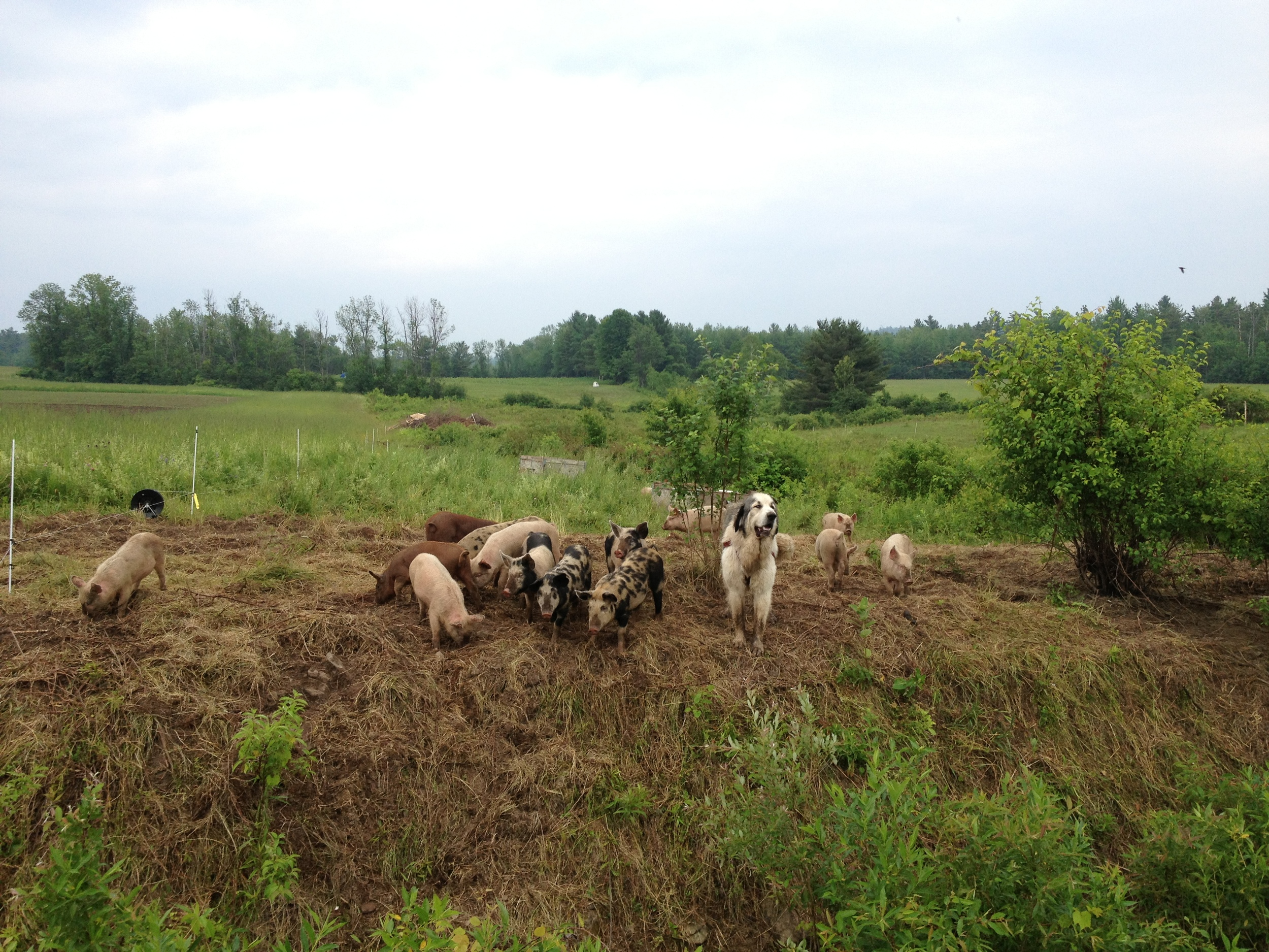 Their livestock guardian dog moves with the pigs as their electric fence moves around the woods and ditches of the farm. They tried to train him to guard the chickens as well, but he seems to think that he's a pig as well.