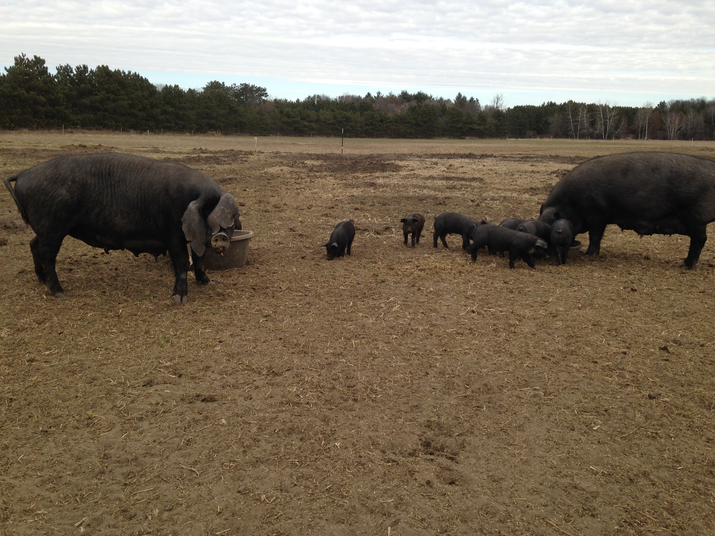 Happy sows eat outdoors earlier this spring with their litters.