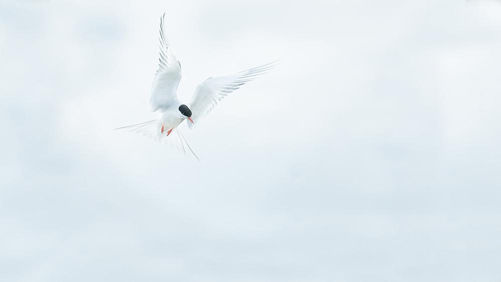 04mod_Arctic Tern-7127.jpg