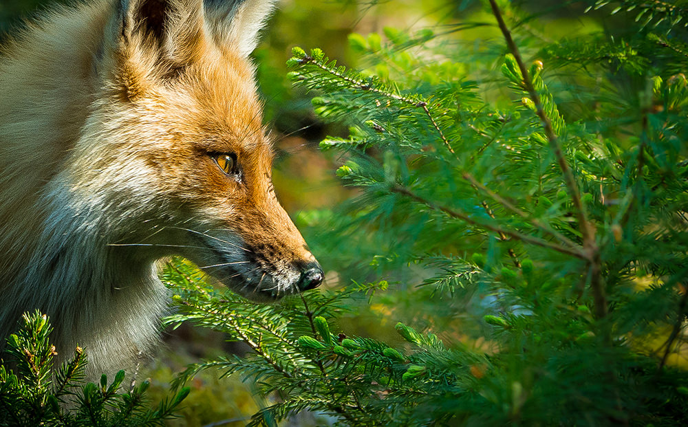 10_Fox-0458.jpg
