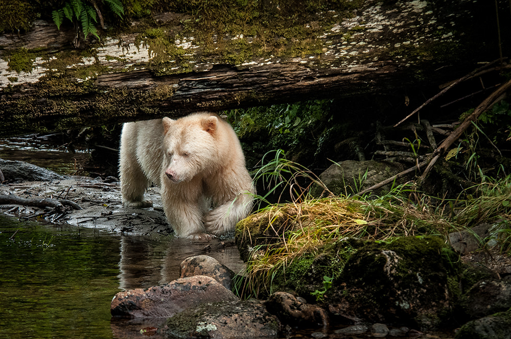 15_Spirit Bear-8133 - Copy.jpg