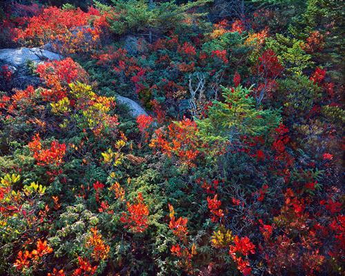 John Wawrzonek: Wild Spruceberries