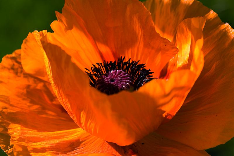 Orange Poppy_14403088_.png