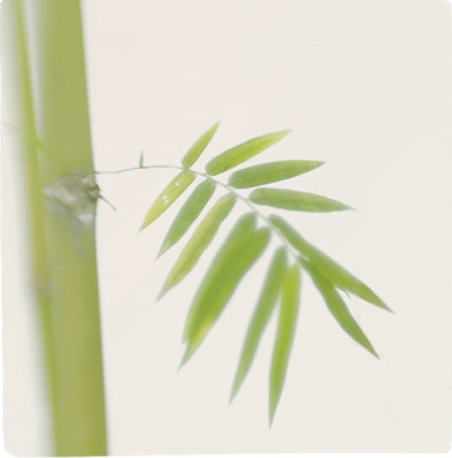 Bamboo Study 12