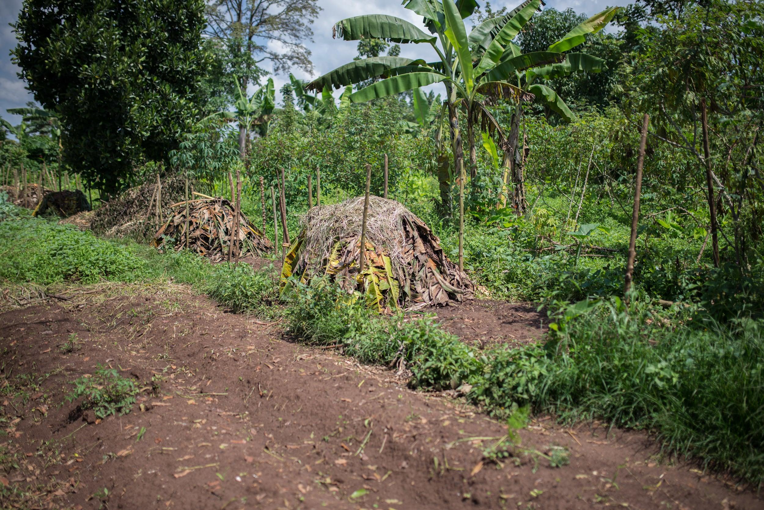 Compost piles in the Uganda garden.