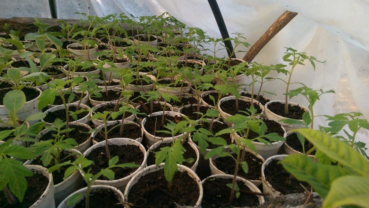 Tomato and cabbage seedlings are monitored carefully in a protected area to ensure that the plants are healthy when transplanted. Healthy transplants reduce the need for pest control and increase produce yields.