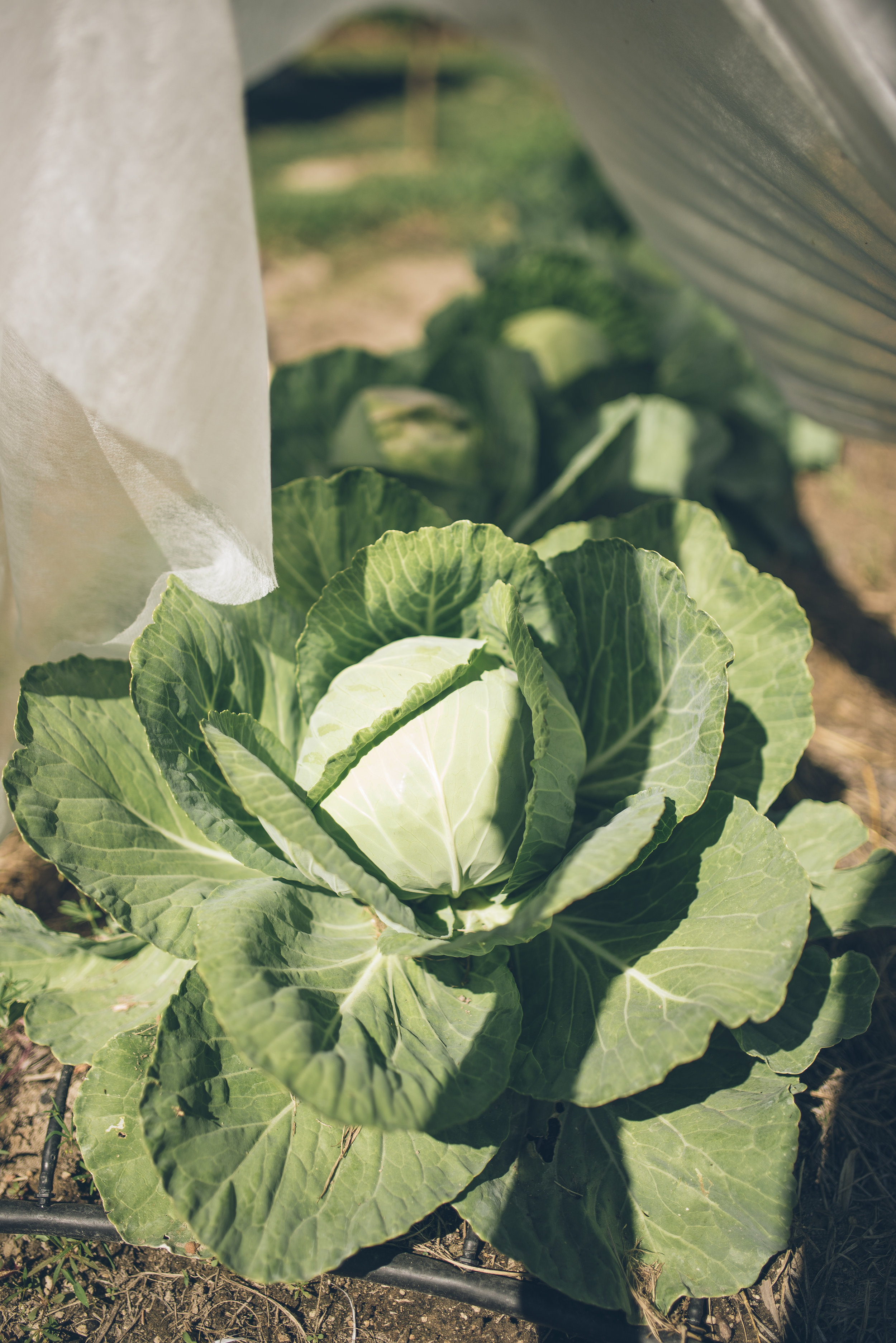 Organic cabbage grows just a few feet outside of Garden Manger Antonio Mejía's home where he can easily observe and manage the health of the produce.