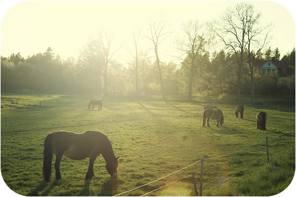 Såg dom här hästarna när jag åkte hem i går, Solen va på väg ner och ljuset var så där magiskt och fint. var bara tvungen stanna till och försöka fånga känslan..