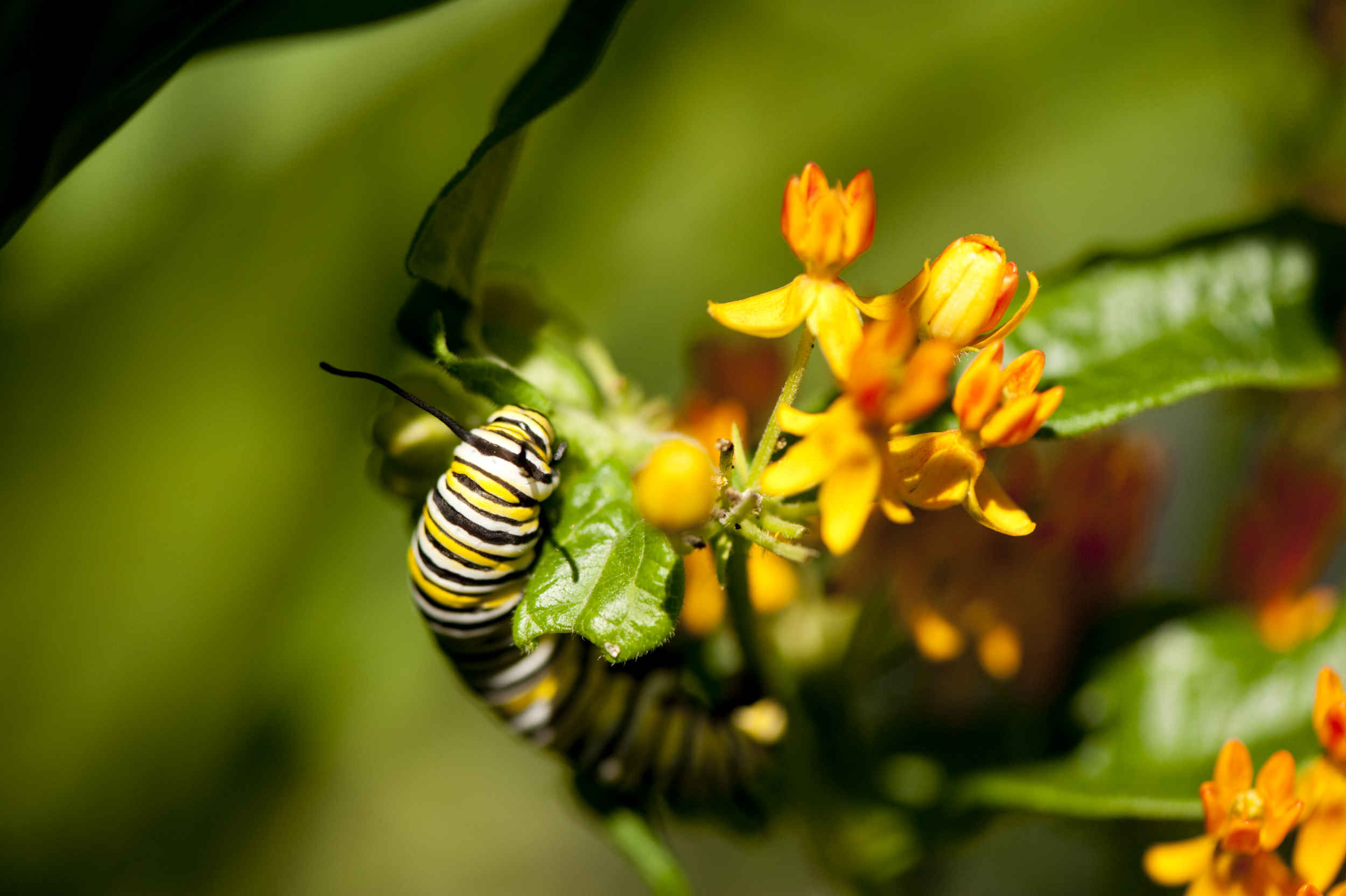 annual-milkweed-caterpillar.jpg