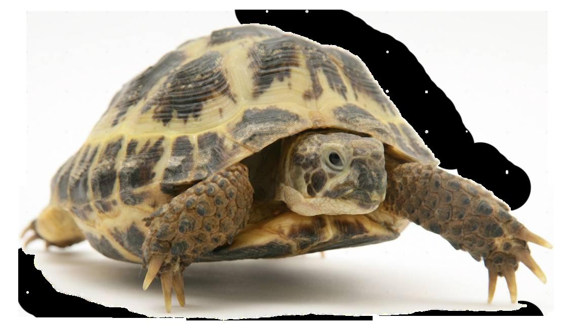 tortoise.png
