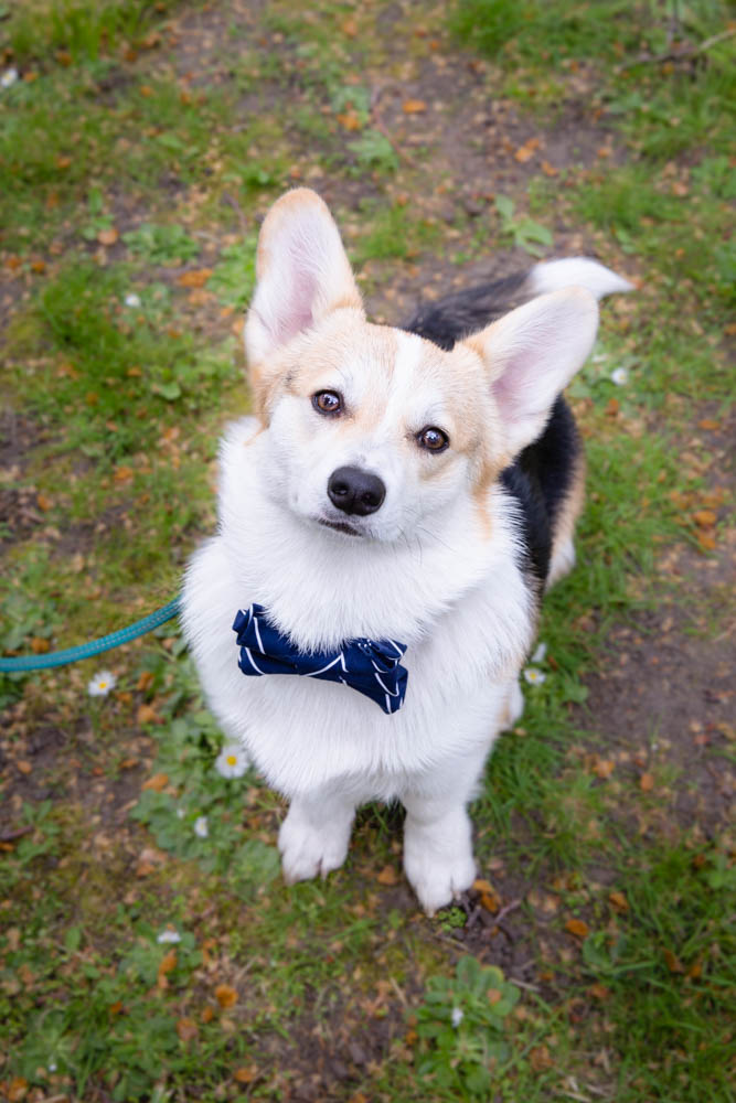 Winny the Corgi | London Dog Photographer