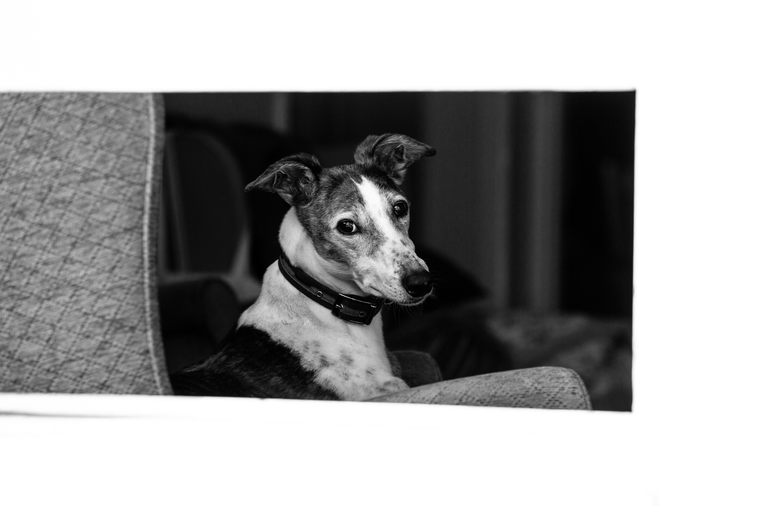 London Greyhound Photographer