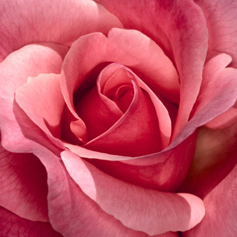 Pretty-in-Pink-Rose.jpg