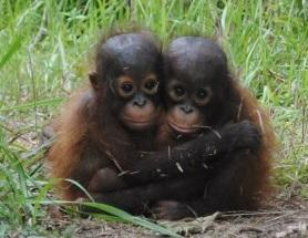 orphan orangutangs.jpg