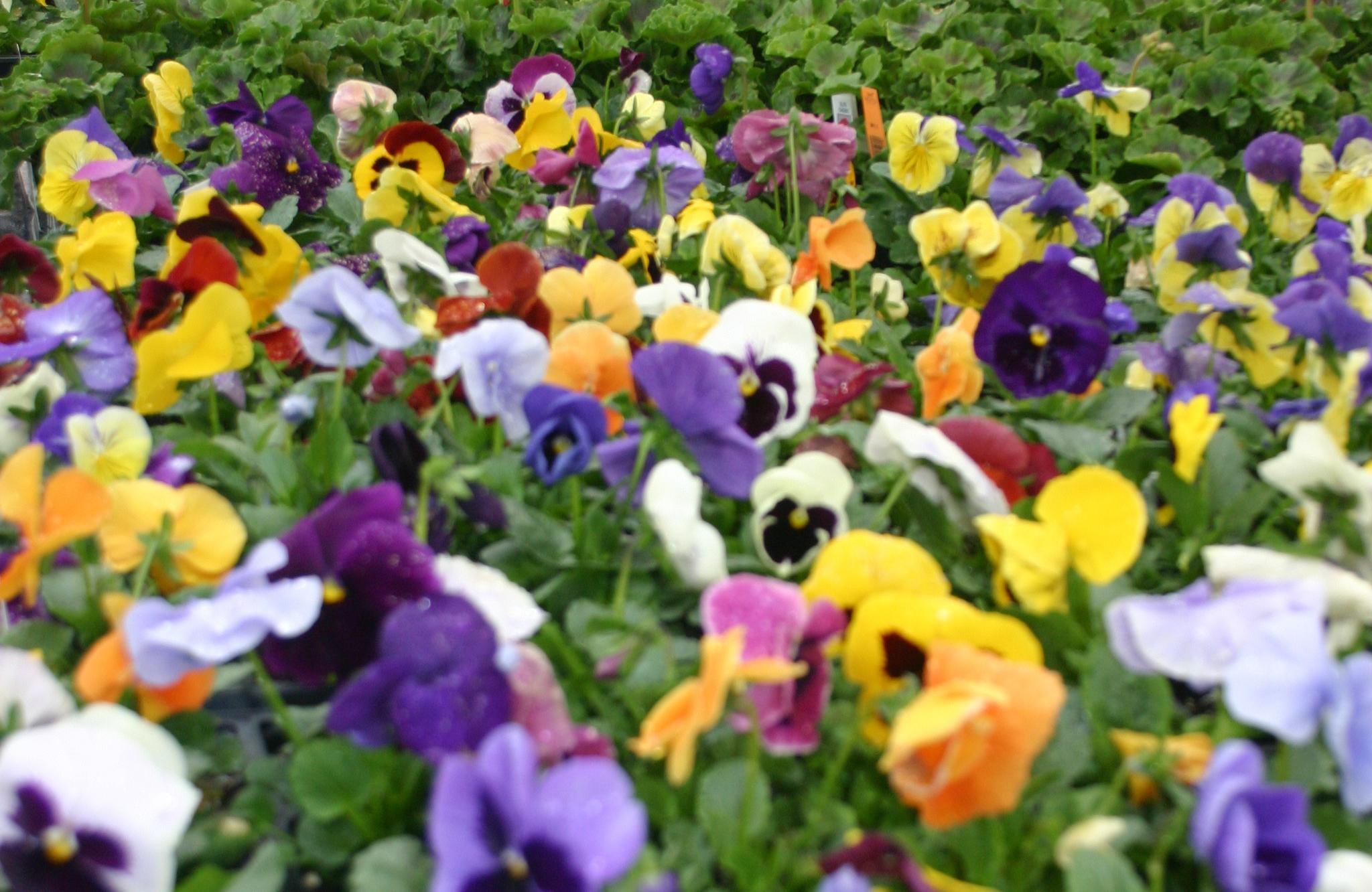 pansies_crop.jpg