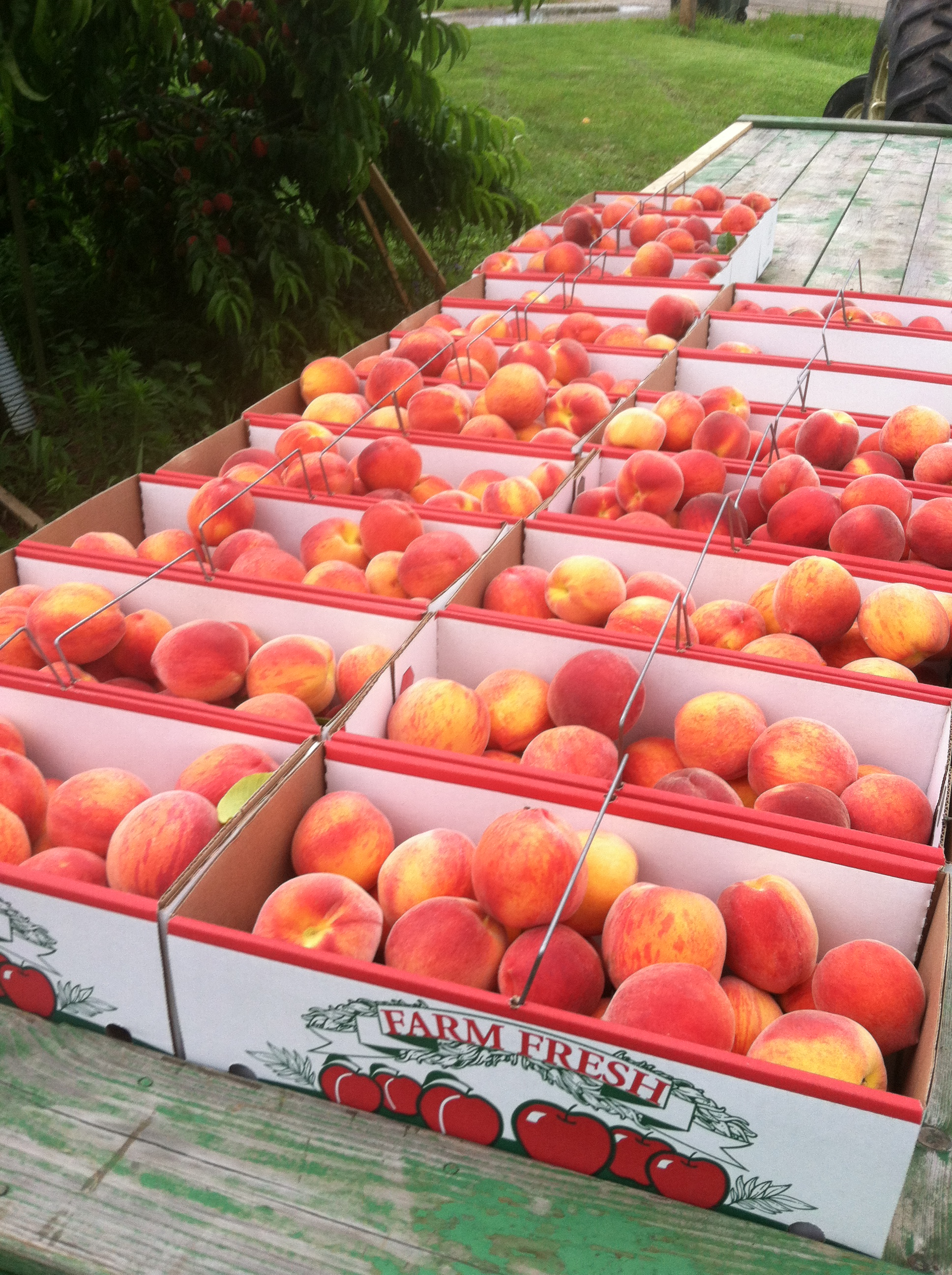 peaches on wagon 13.JPG