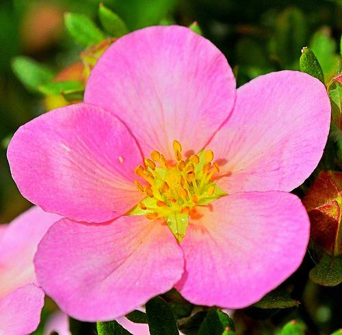mandala - five petaled rose.jpg