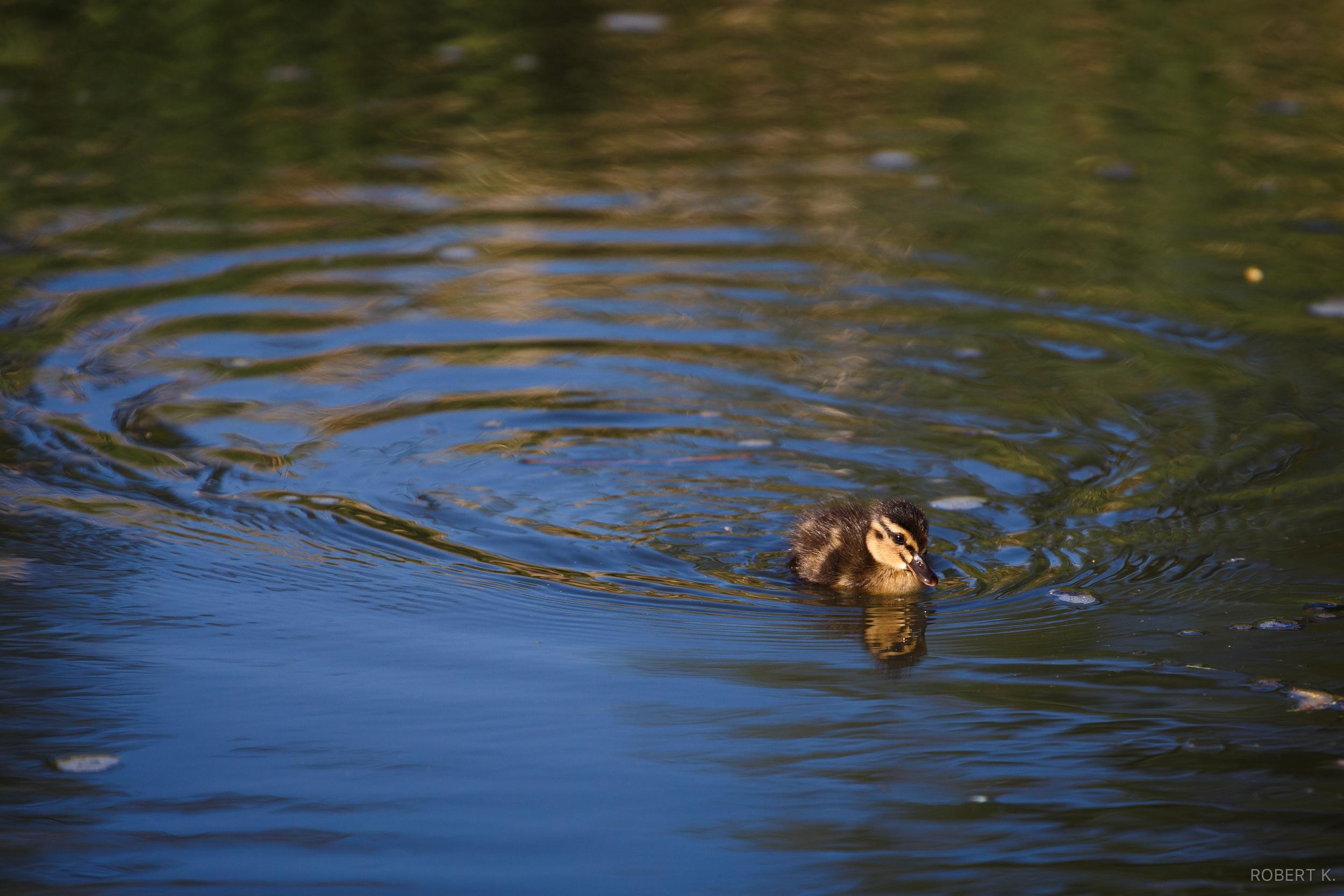Tiny Duckling. Canon 6D  ,300mm, ƒ/6.3, 1/1250s, ISO 320