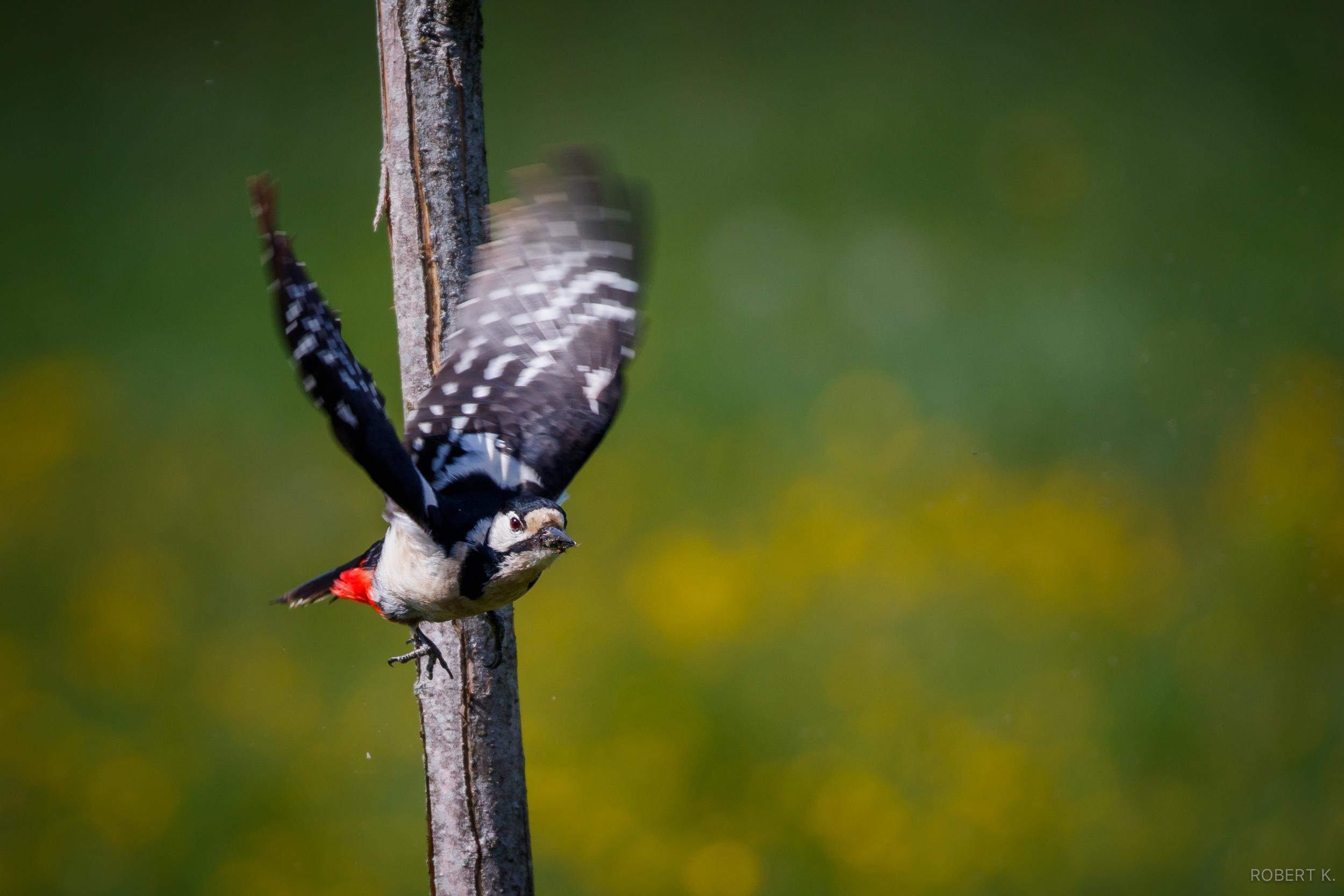 Woodpecker taking flight,  Canon 7D Mark II,400mm,ƒ/5.6,1/1250s,ISO 250
