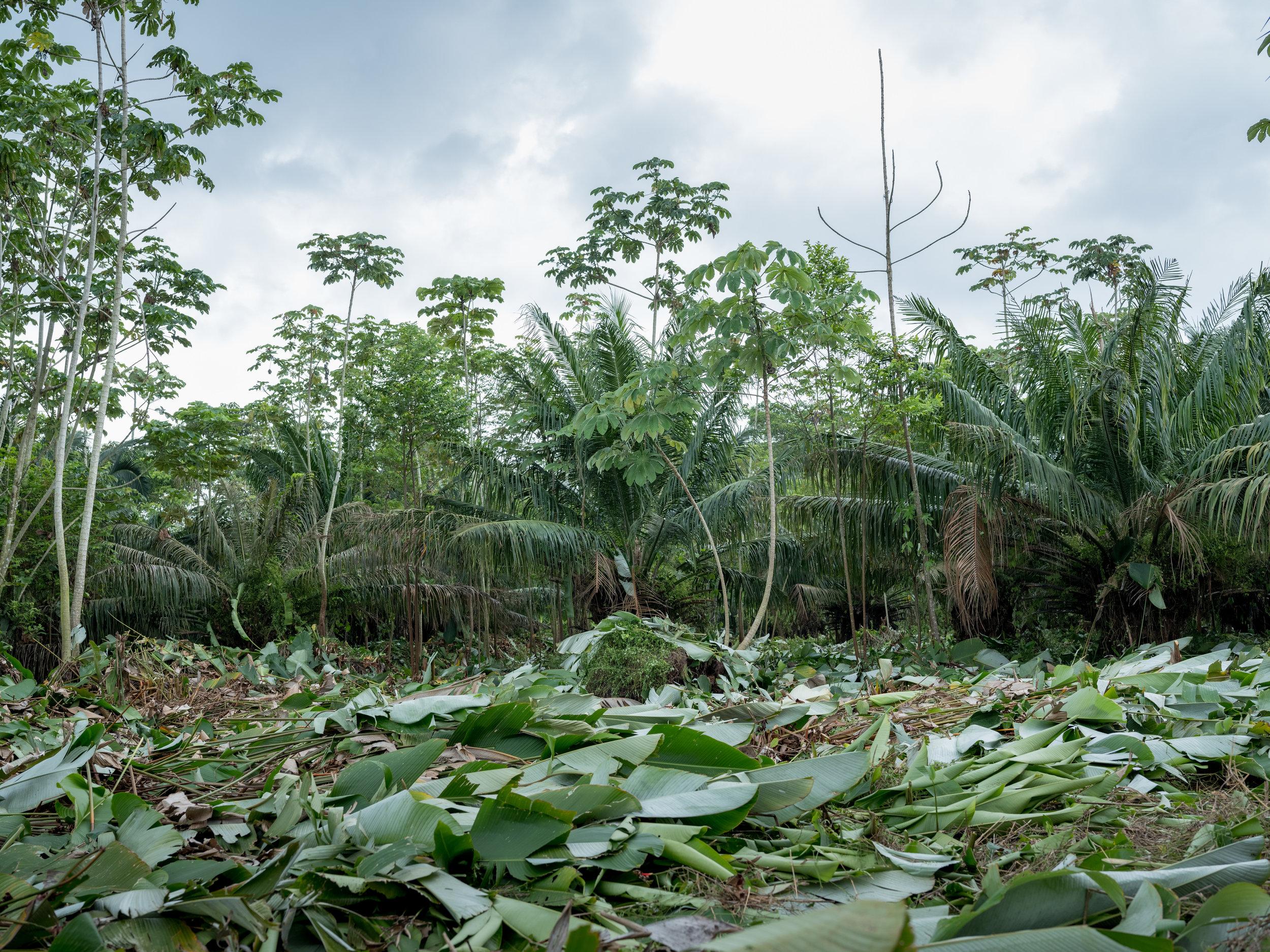 Palm plantations near the family farm