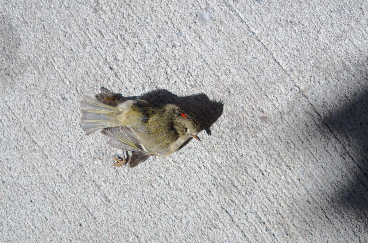Misslyckad rymning, New York. För det är väll en burfågel...?