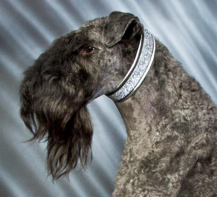 Sherlock the kerry blue terrier and his Silver leather lined collar with Silver Sparkle ribbon.