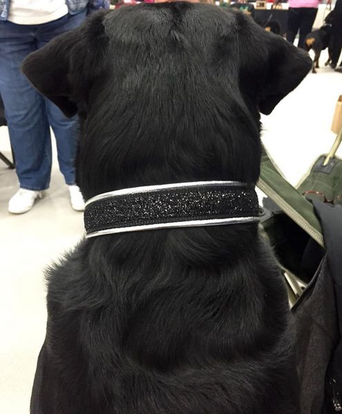 Chief looking good in basic black with a bit of sparkle, especially for obedience.