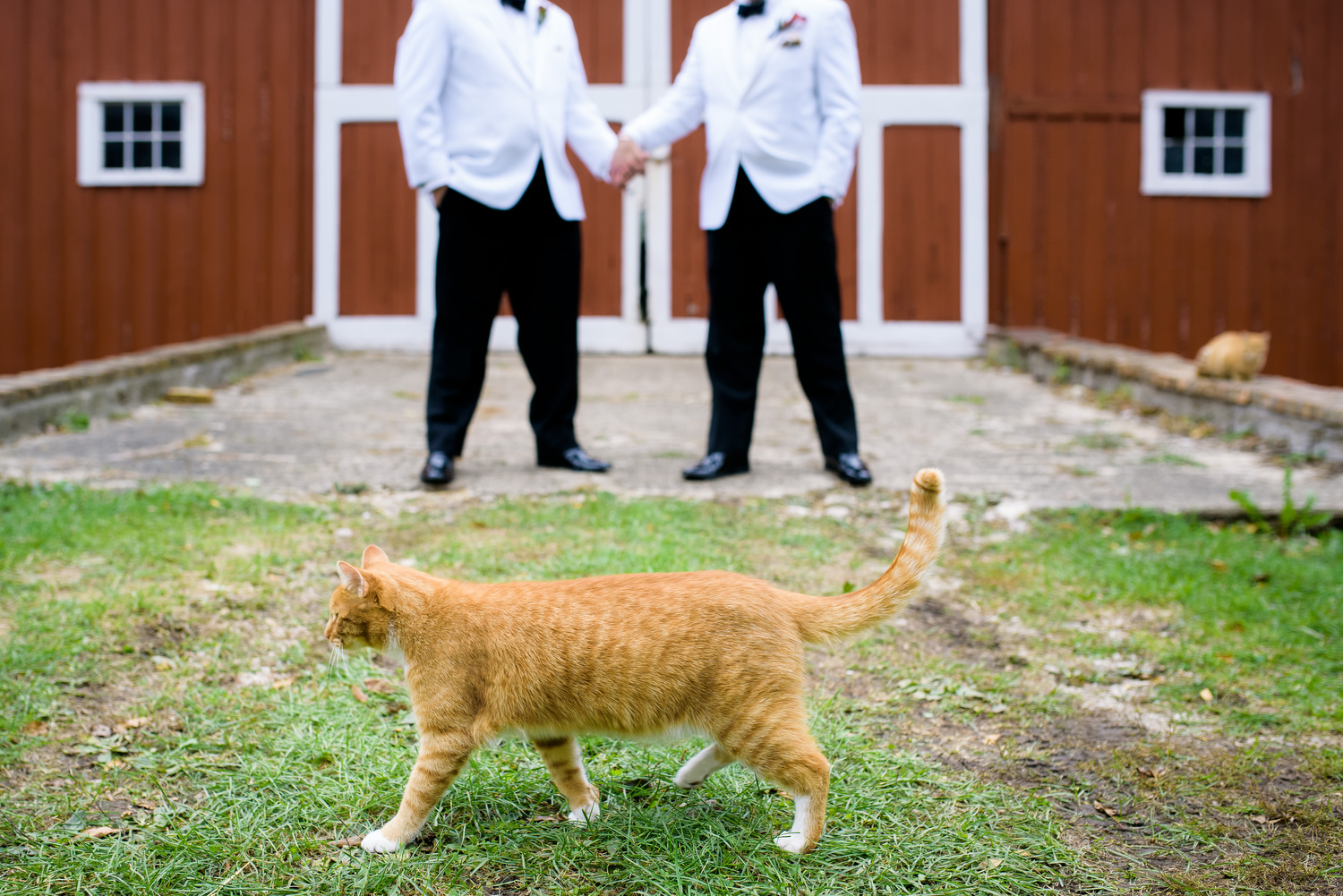 Funny photos involving a cat during a same sex wedding at Heritage Prairie Farm.