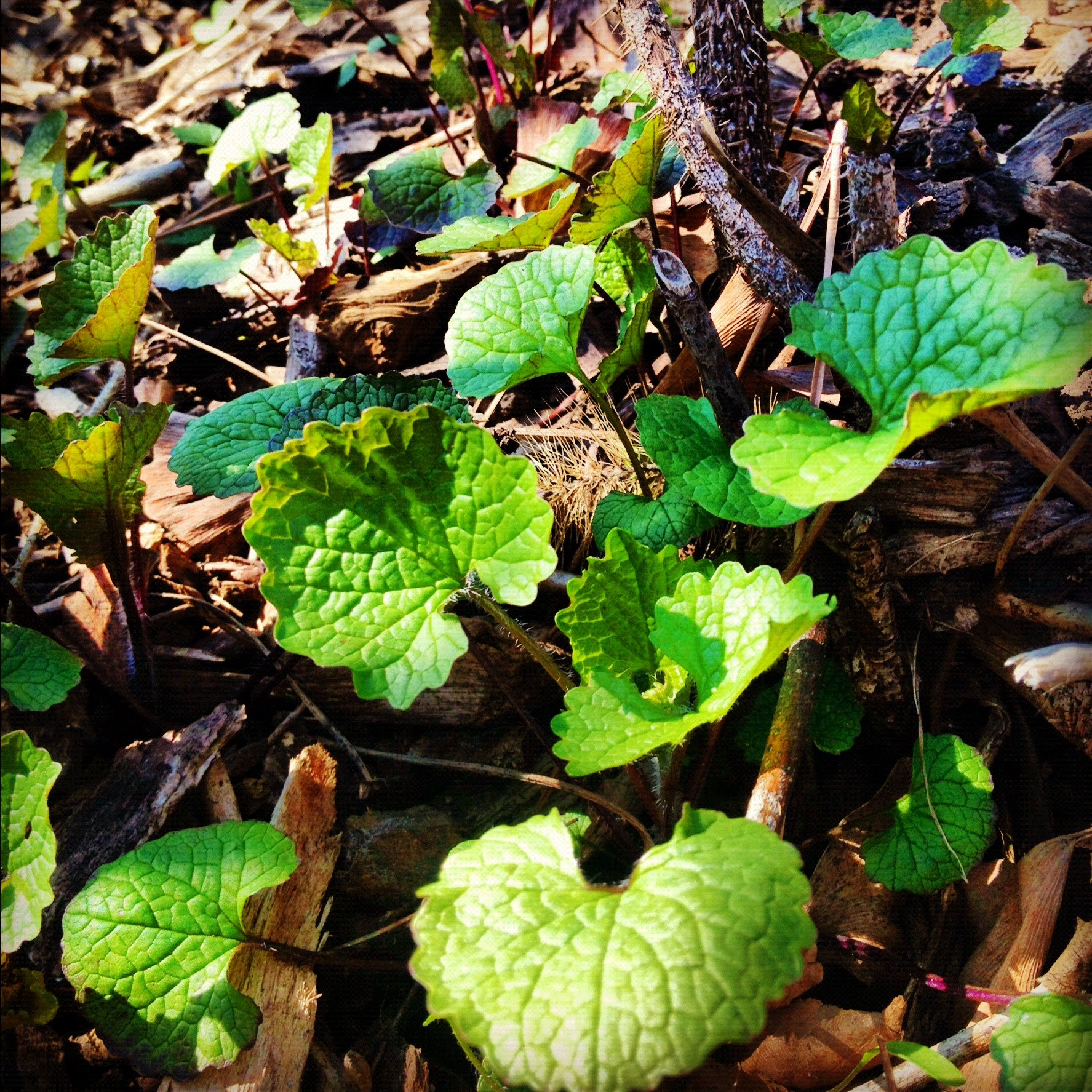 Alliaria petiolata  or garlic mustard is a detested noxious, non-native weed in the Midwest and North East.