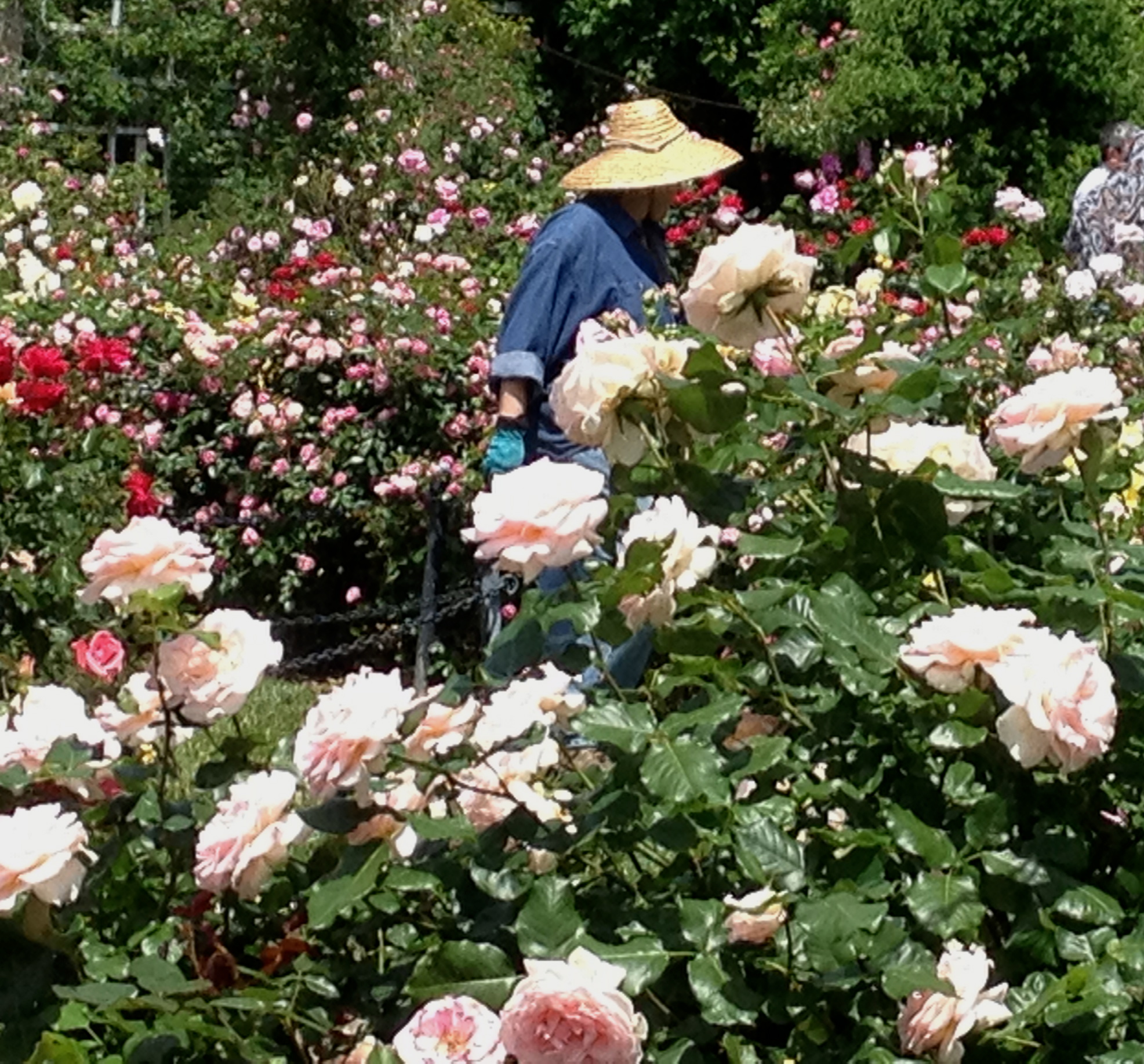 A volunteer working in the Cranford Rose Garden at peak bloom.
