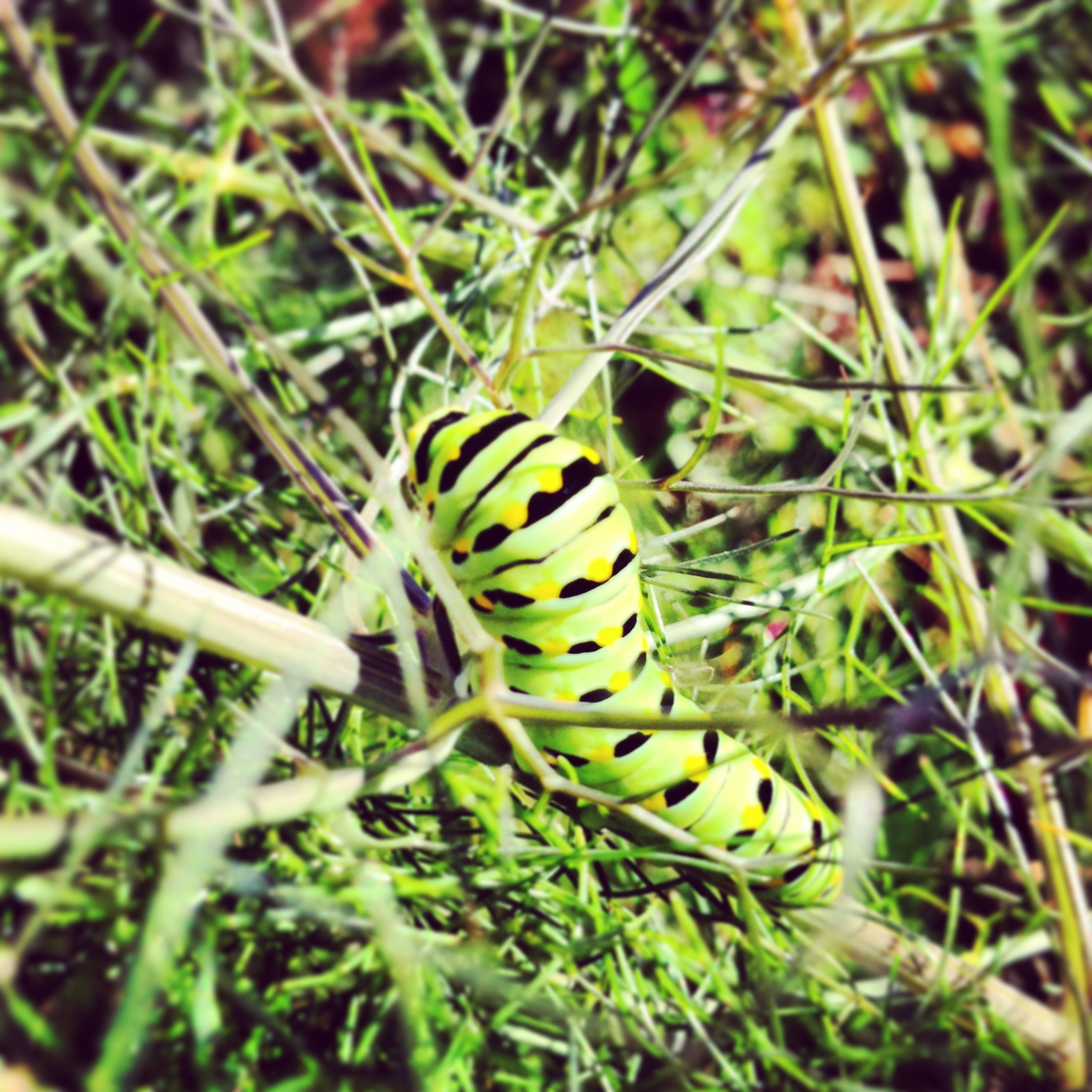 Black swallowtail butterfly catepillar feeding on fennel foliage.