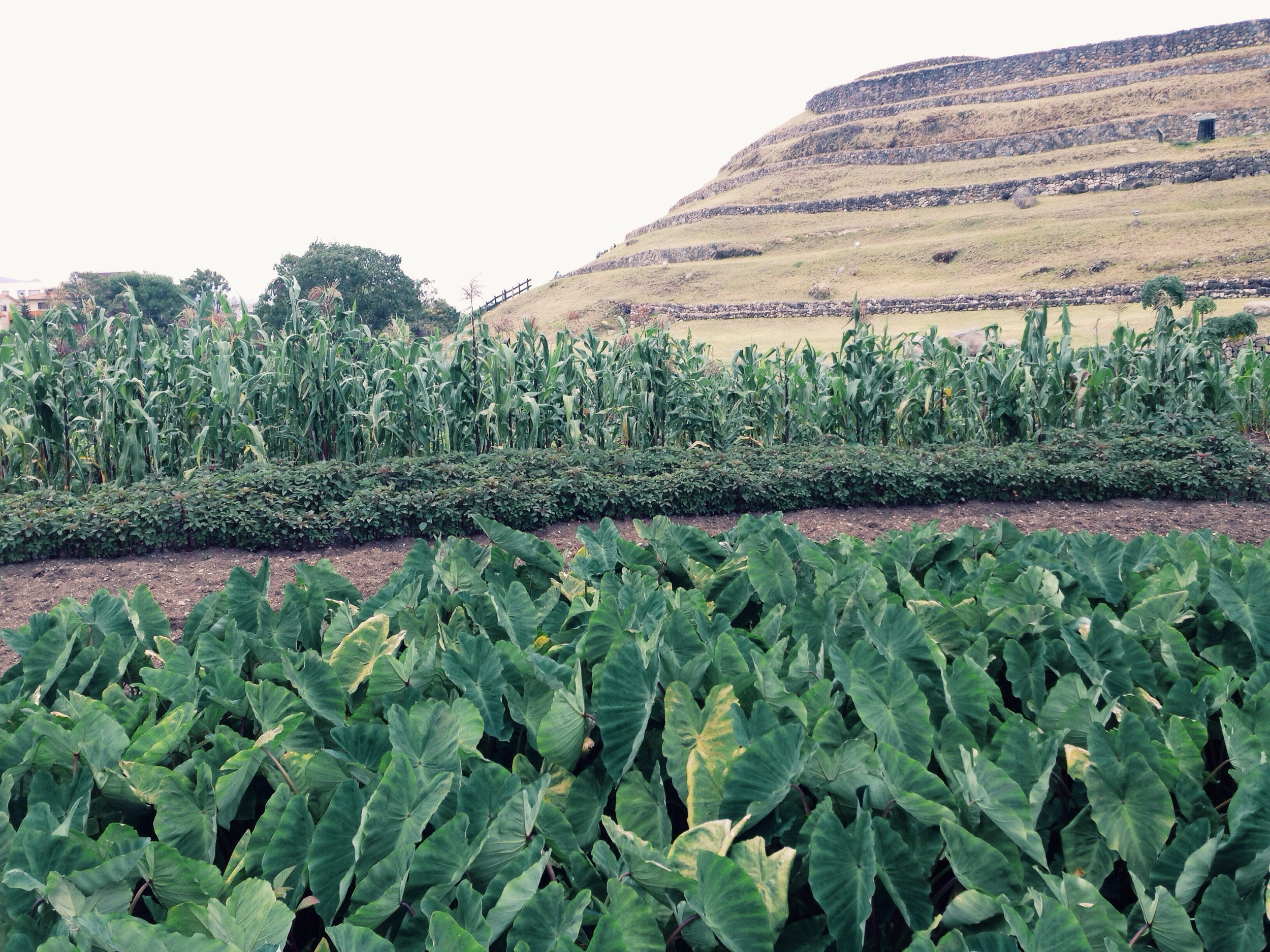 Crops including taro, amaranth, and maize, growing at the base of the Pumpapunga ruins in Cuenca Ecuador.