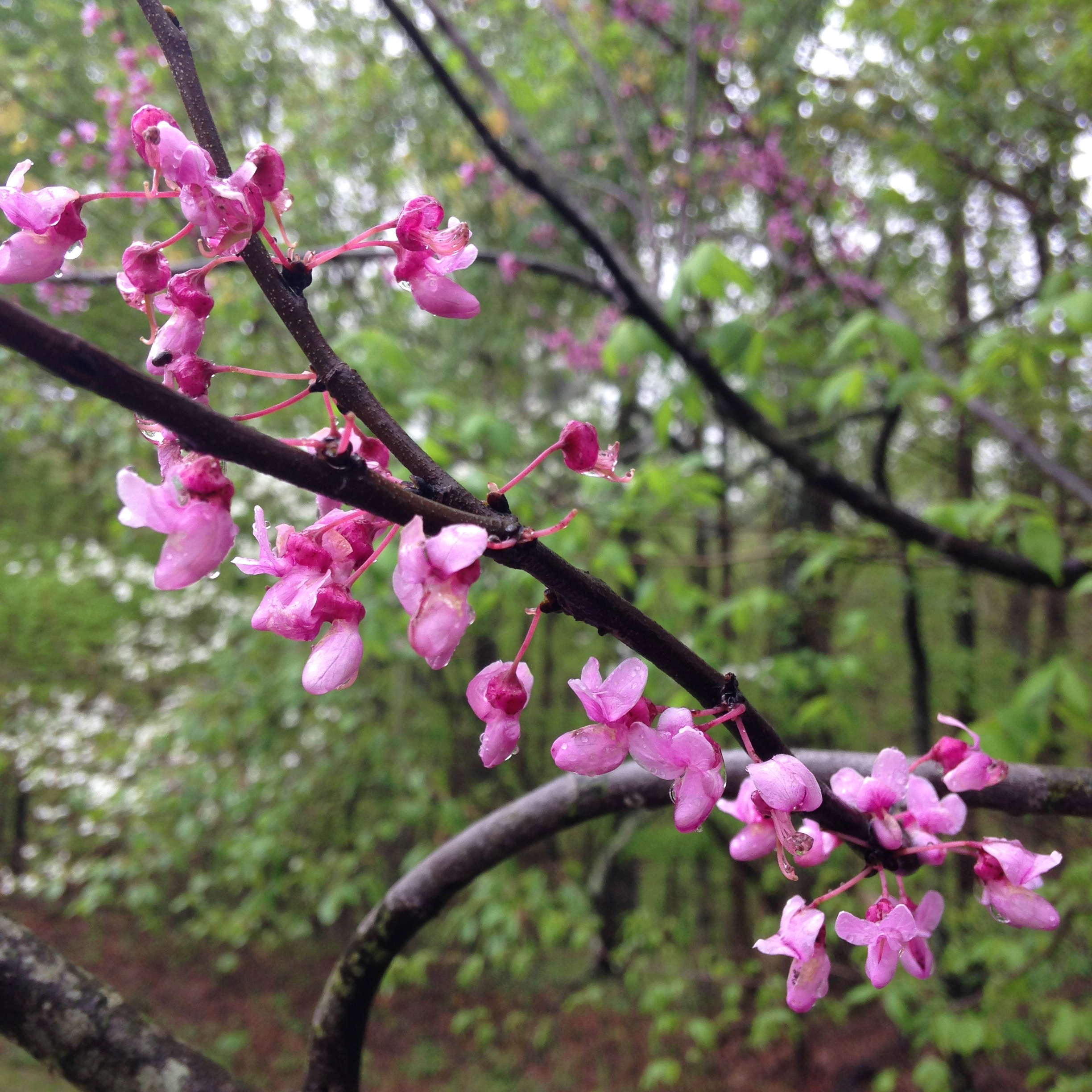 The more common rosy pink (and edible!) blooms of  Cercis canadensis  or redbud tree.
