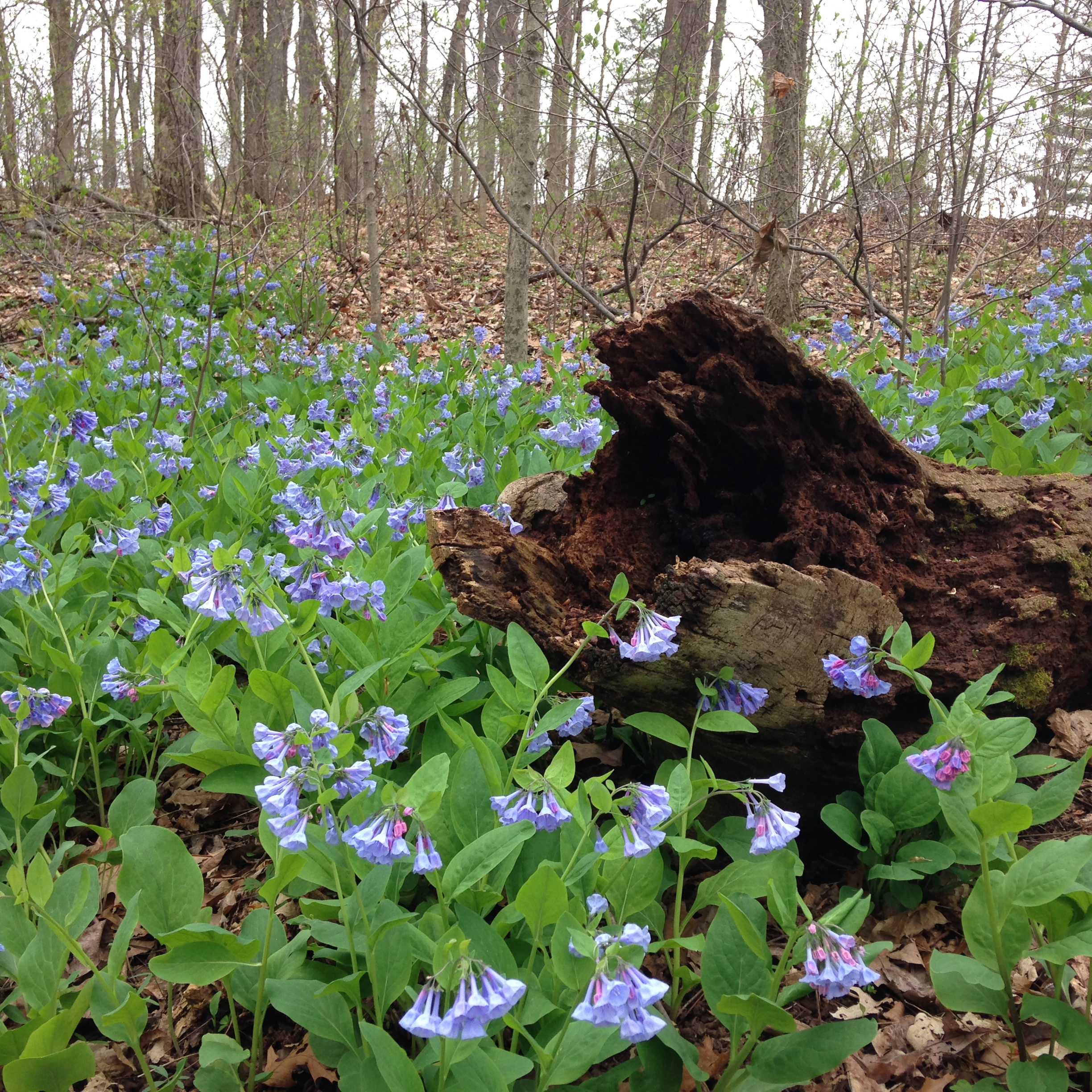An abundance of the ephemeral native bluebell  Mertensia virginica.