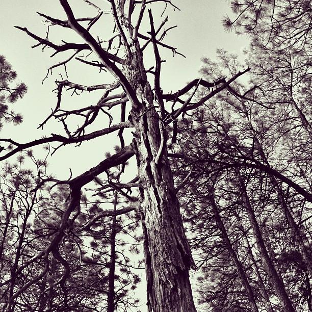 #trees #nature #beauty #dead #l4l #bestoftheday #igers