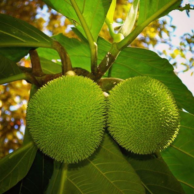Many tropical fruit trees produce for years, decades and even centuries, and other trees can supply starches and nuts, a foundation of a tropical diet.