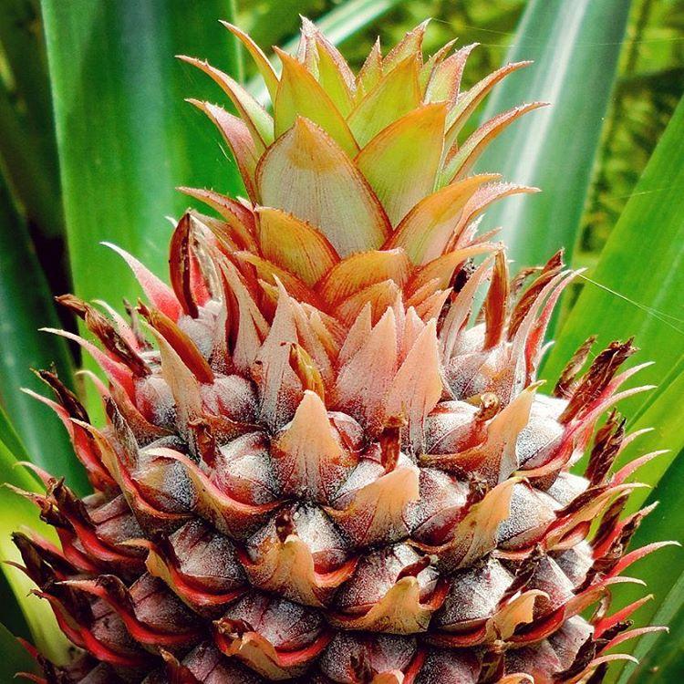 Immature Pineapple